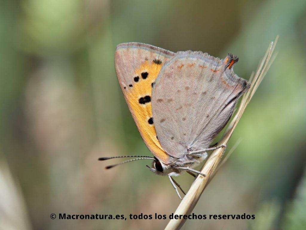 Mariposa Manto bicolor Lycaena phlaeas con cola anal larga. Segunda generación