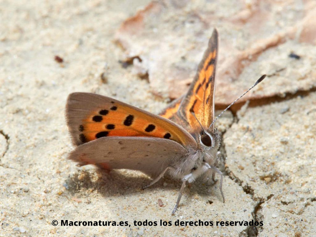Mariposa Manto bicolor Lycaena phlaeas tomando el sol en la tierra