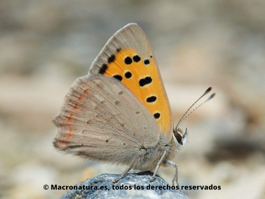 Mariposa Manto bicolor Lycaena phlaeas. Vista lateral.