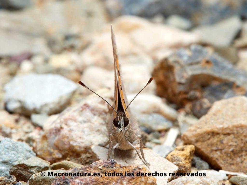 Mariposa Manto bicolor Lycaena phlaeas. Vista frontal.