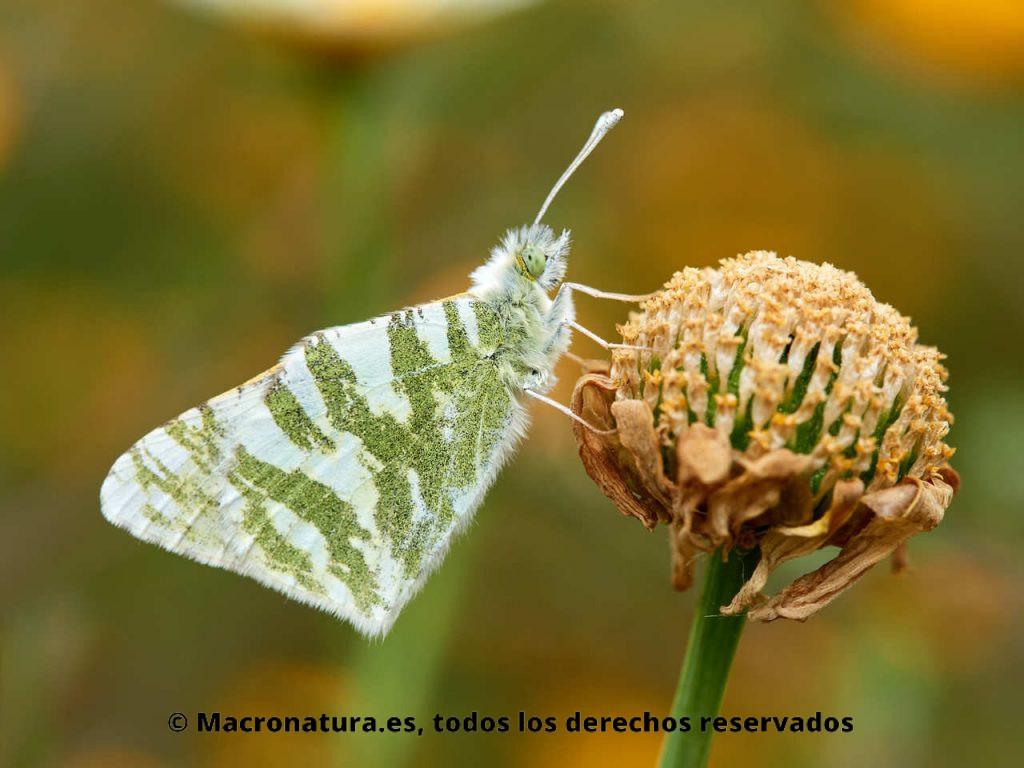 Mariposa Blanca verdirrayada Euchloe belemia sobre una flor marchita