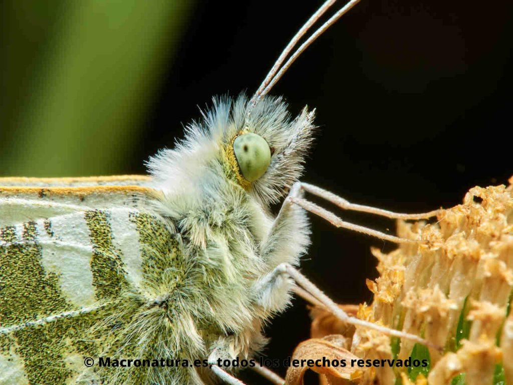 Detalle de ojos y cabeza de una Mariposa Blanca verdirrayada Euchloe belemia