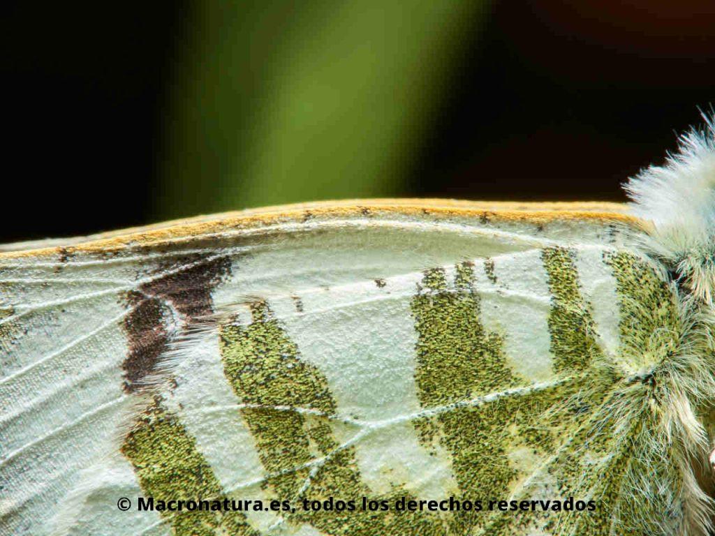 Detalle del ala de una Mariposa Blanca verdirrayada Euchloe belemia