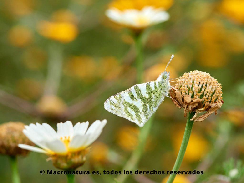 Mariposa Blanca verdirrayada Euchloe belemia camuflada entre la vegetación