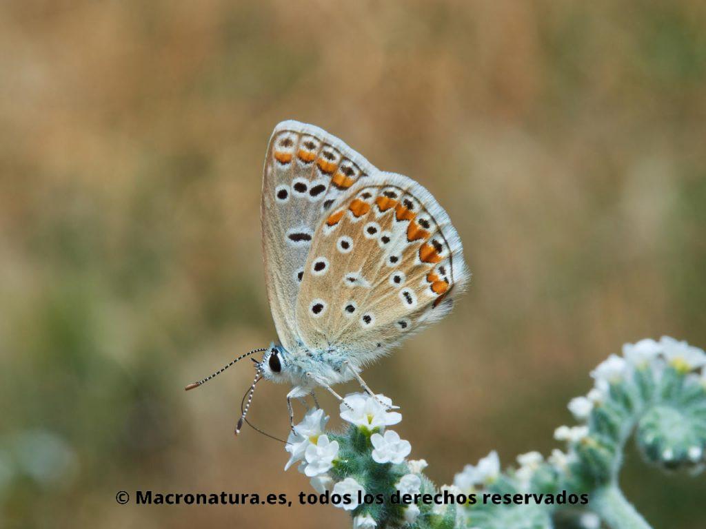 Mariposa Ícaro Moro Polyommatus celina libando néctar de una flor. Vista lateral.