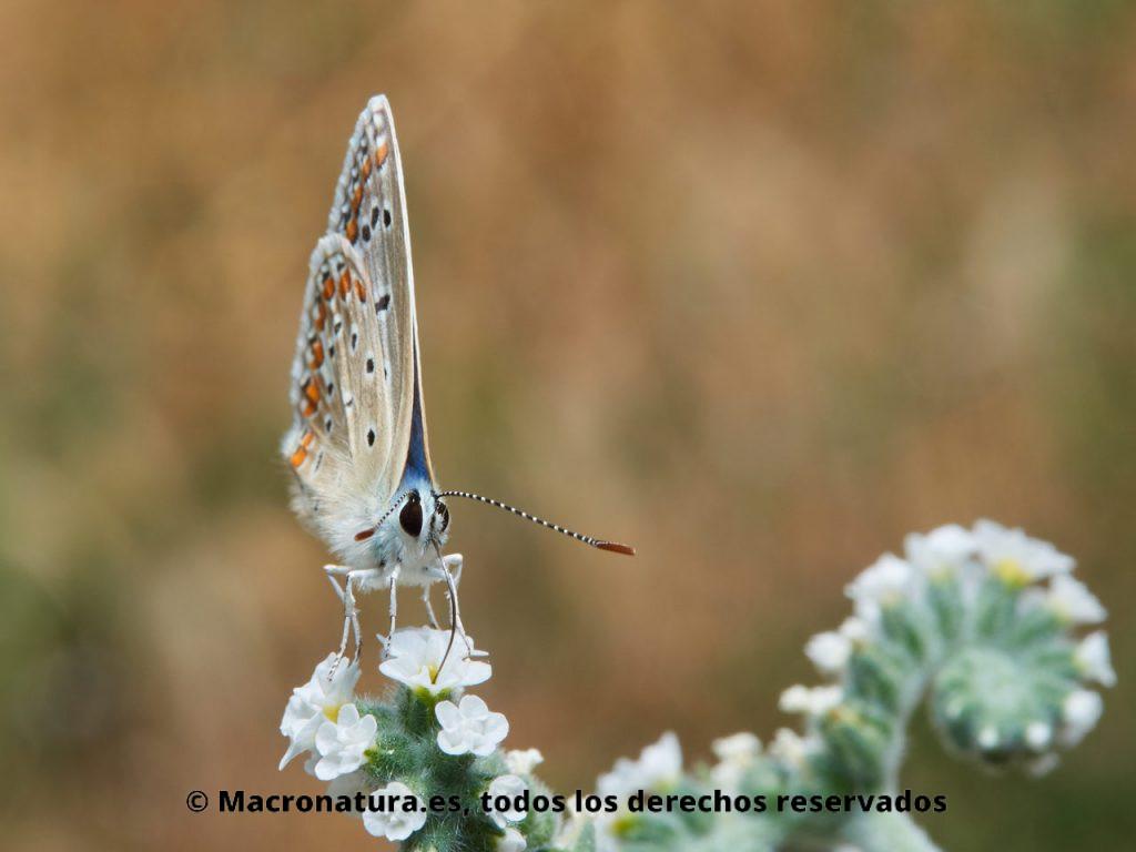 Mariposa Ícaro Moro Polyommatus celina libando néctar de una flor