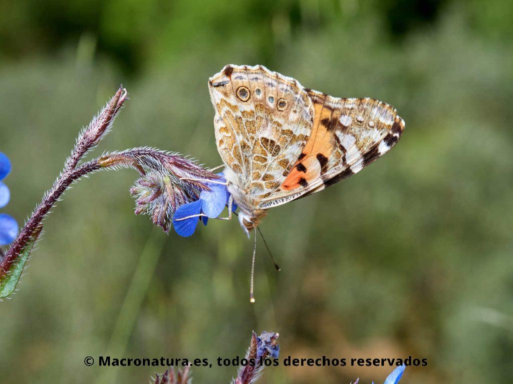 Mariposa de los cardos Vanessa cardui libando néctar de una flor azul.