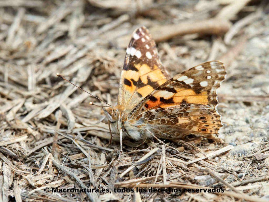 Mariposa de los cardos Vanessa cardui en el suelo tomando el sol