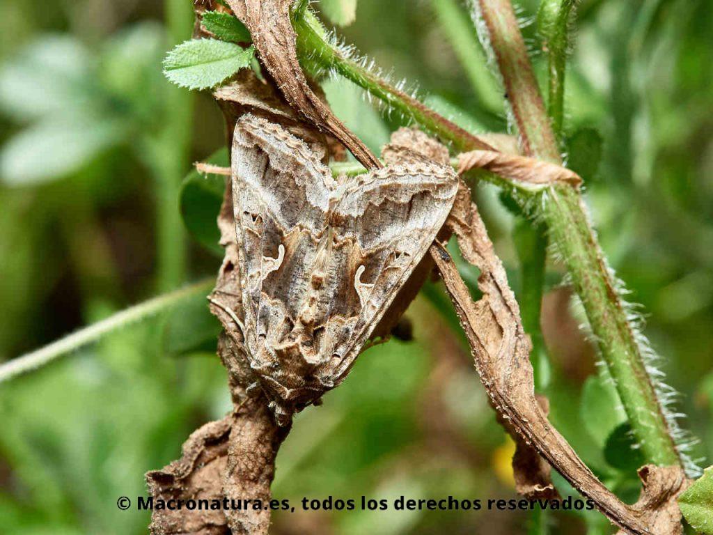 Polilla Plusia Autographa gamma camuflada entre la vegetación. Vista cenital. Plaga.
