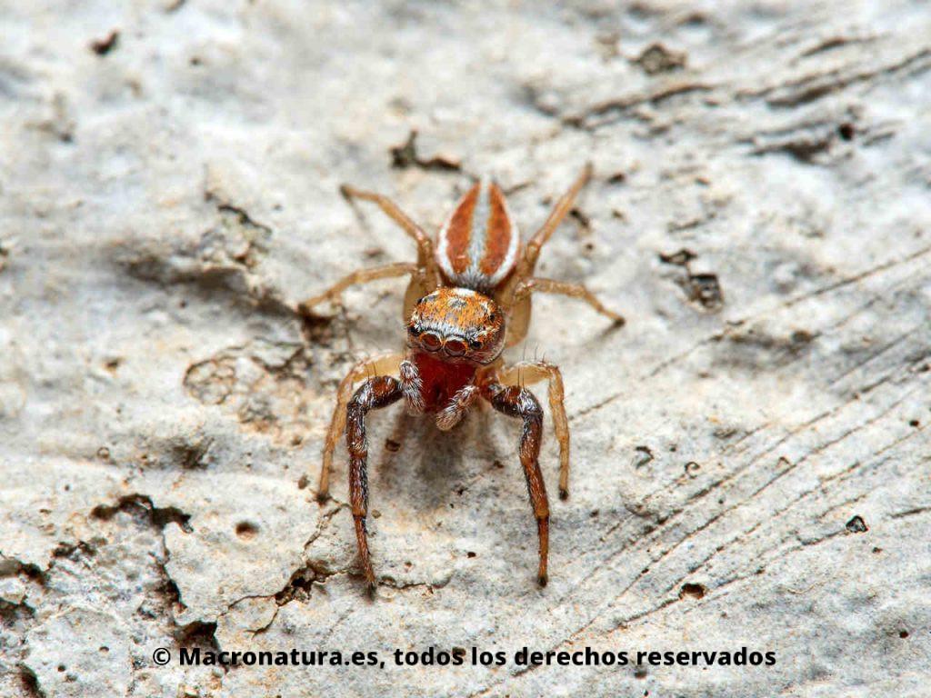 Araña saltarina Icius hamatus sobre una parede hormigón. Vista cuerpo entero
