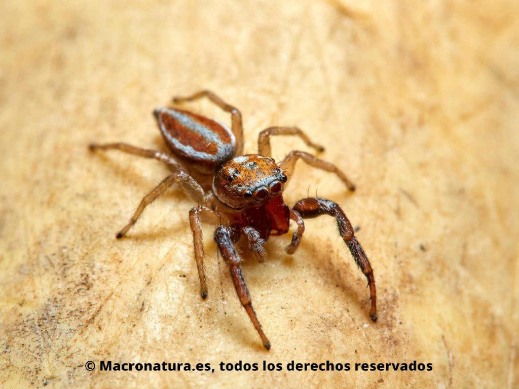 Araña saltarina Icius hamatus en un fondo amarillo. Vista cuerpo entero