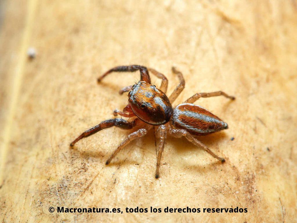Araña saltarina Icius hamatus en un fondo amarillo. Vista lateral mirando a la izquierda