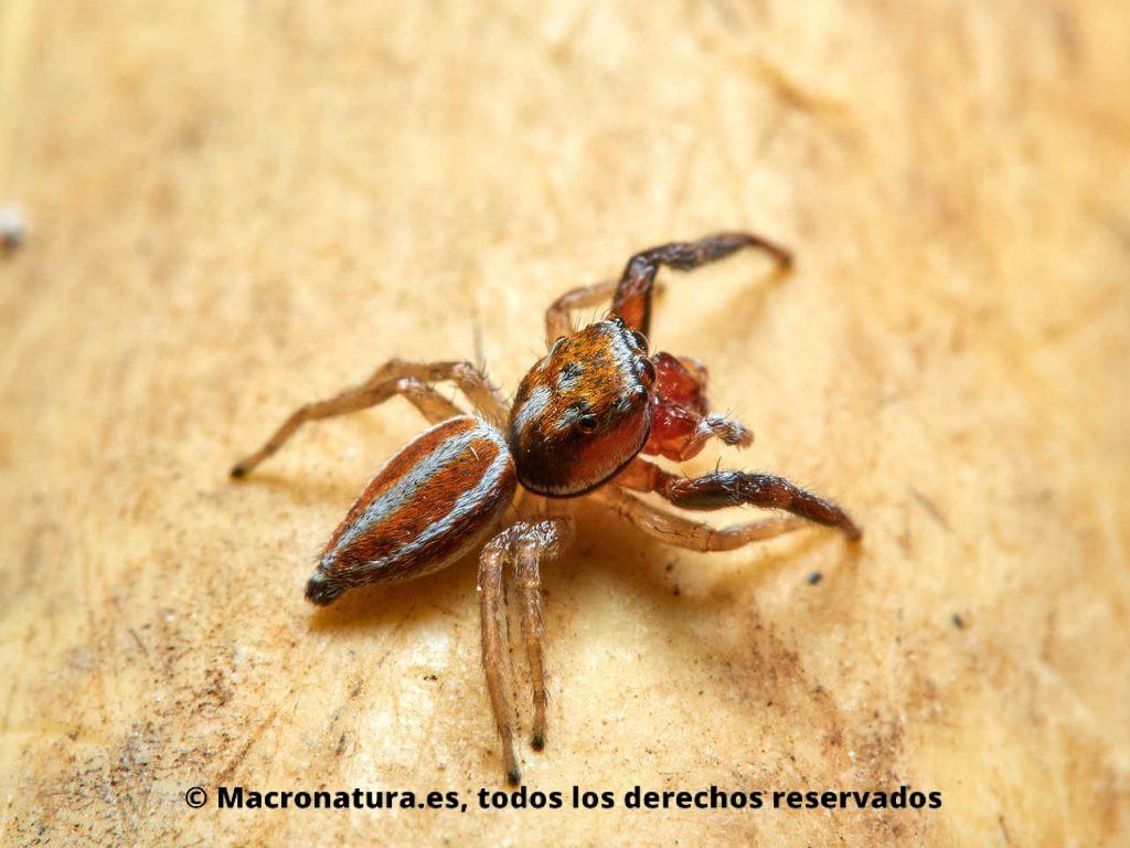 Araña saltarina Icius hamatus en un fondo amarillo. Vista lateral mirando a la derecha