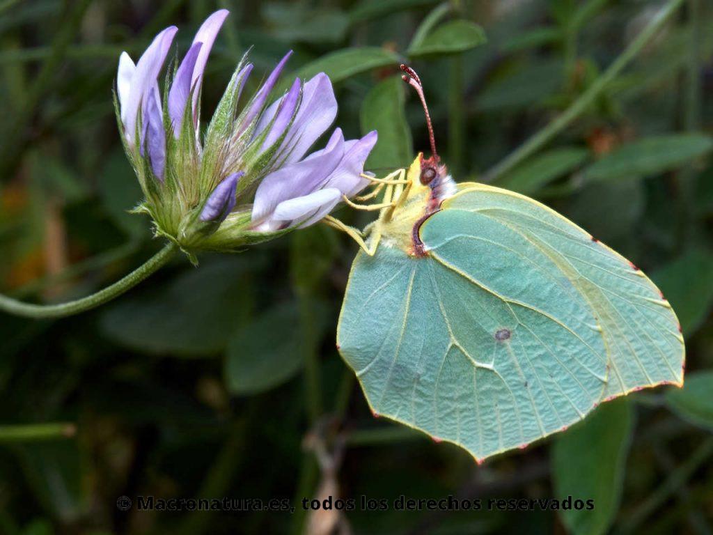 Mariposa Cleopatra Gonepteryx cleopatra hembra sobre una flor