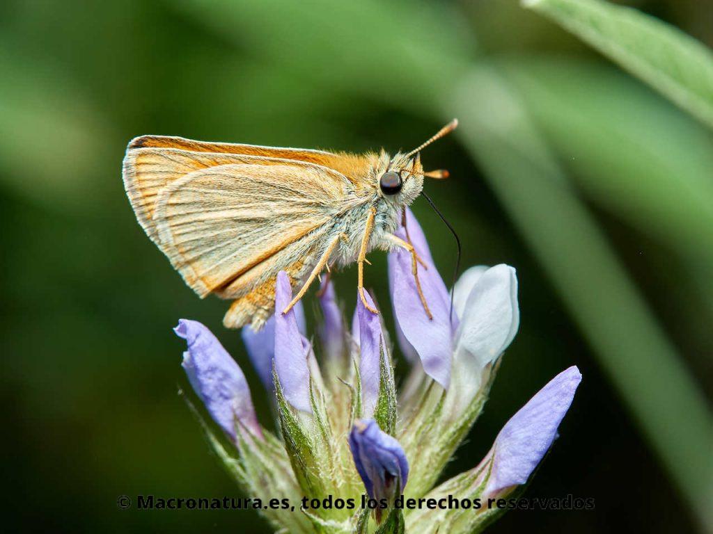 Mariposa Dorada línea larga Thymelicus sylvestris libando néctar de una flor
