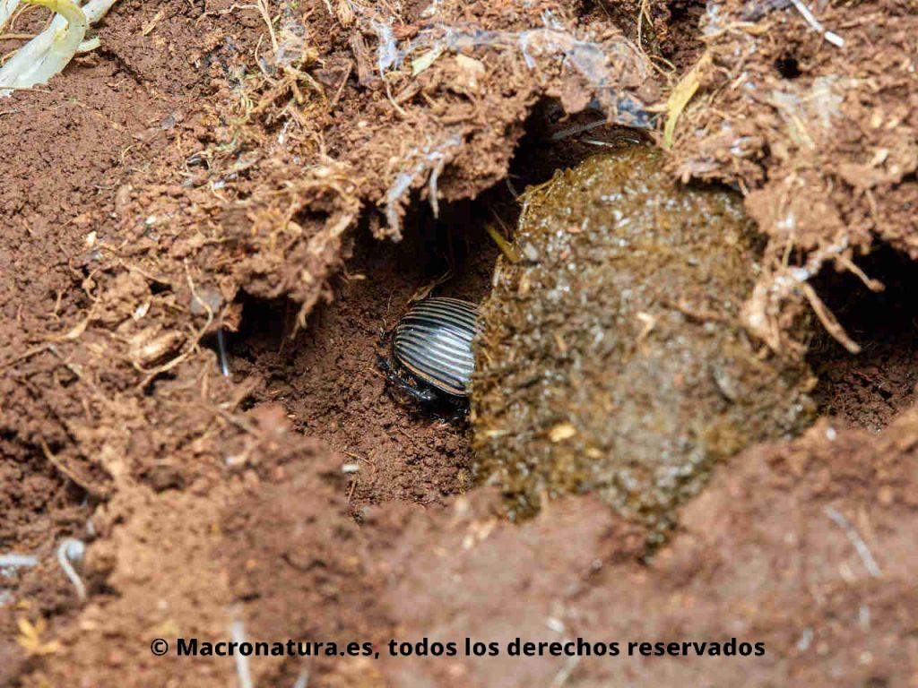 Escarabajo pelotero Scarabaeus laticollis enterrando una bola de excremento.