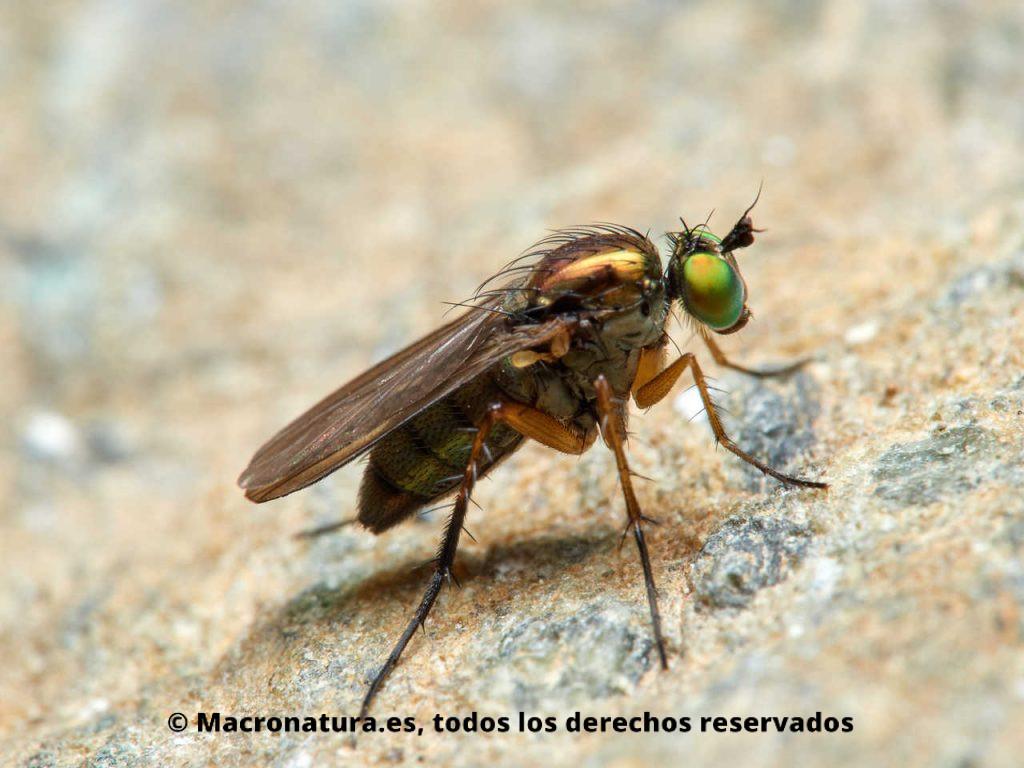 Moscas de patas largas Familia Dolichopodidae. Vista lateral