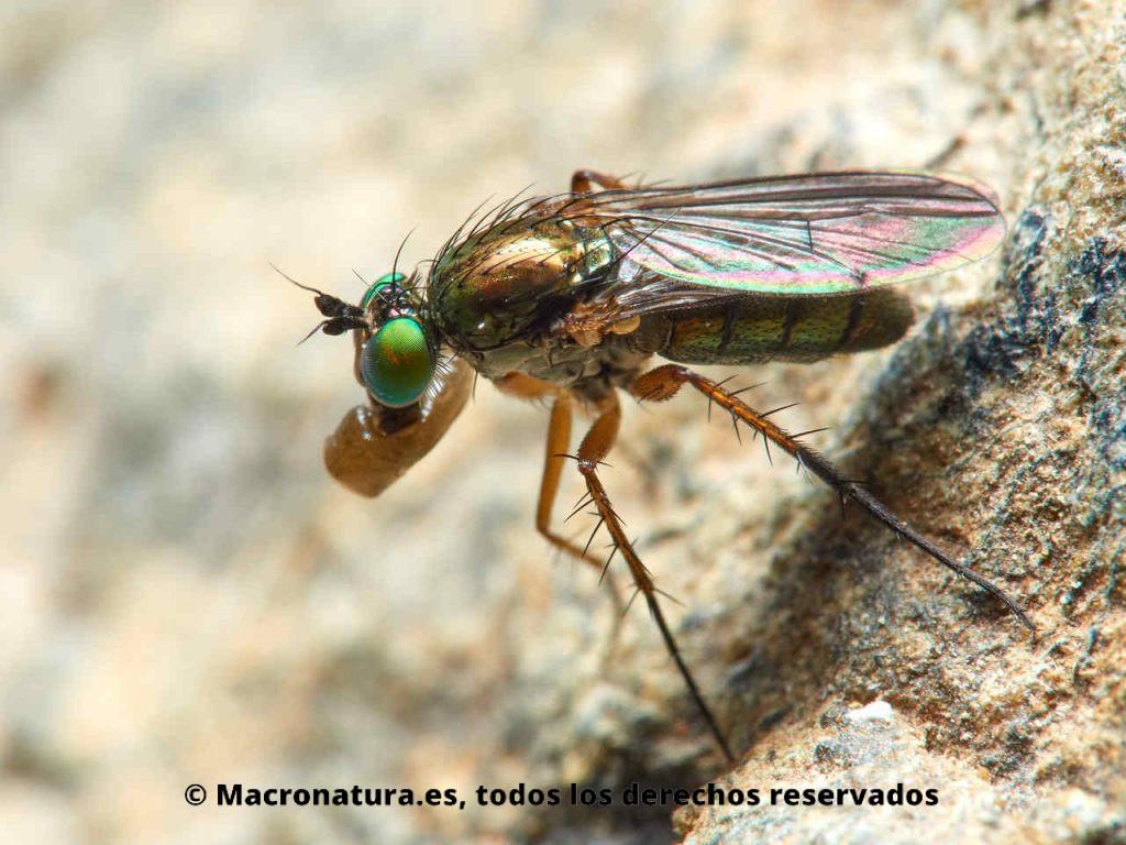 Moscas de patas largas Familia Dolichopodidae. Comiendo un insecto blando.