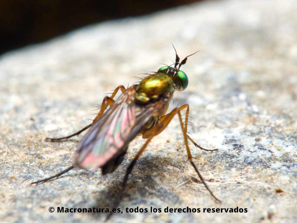 Moscas de patas largas Familia Dolichopodidae. Detalle de antenas.