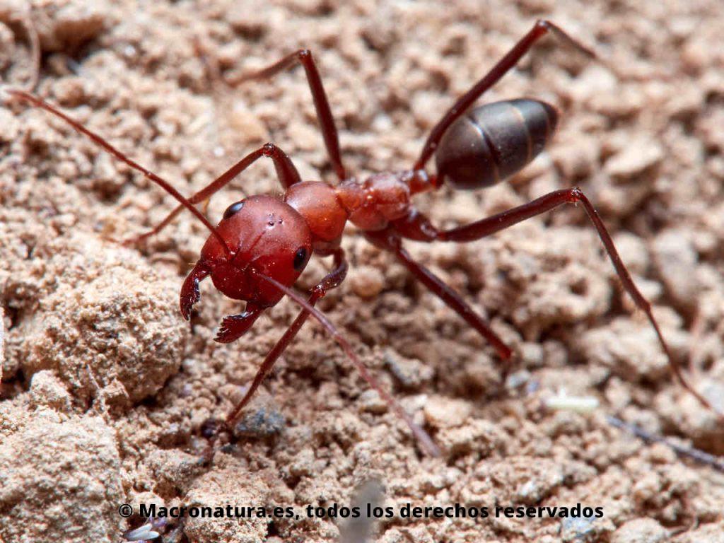Hormigas del desierto género Cataglyphis. Detalle de cabeza y mandíbulas