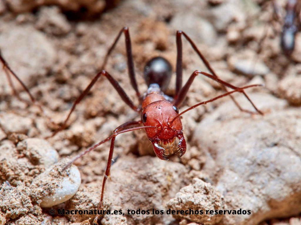 Hormigas del desierto género Cataglyphis mirando a la cámara. Detalle de mandíbulas.