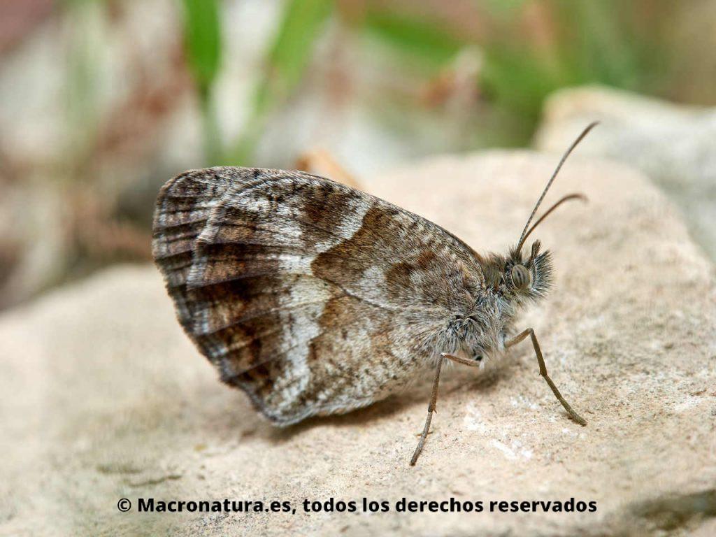 Lobito jaspeado Pyronia cecilia macho con las alas cerradas. Forma de Y.