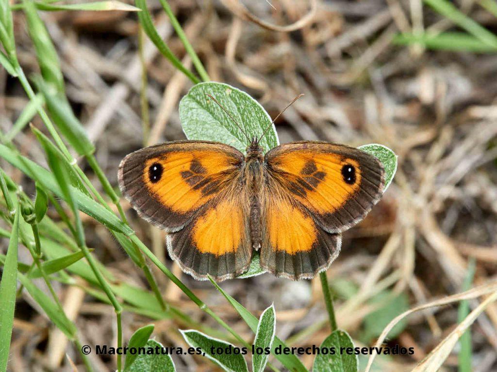 Lobito jaspeado Pyronia cecilia macho con las alas abiertas. Color naranja con ocelo doble fusionado.