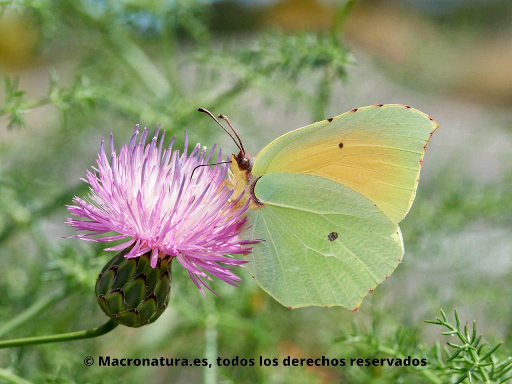 Mariposa Cleopatra Gonepteryx cleopatra macho alimentándose de una flor morada