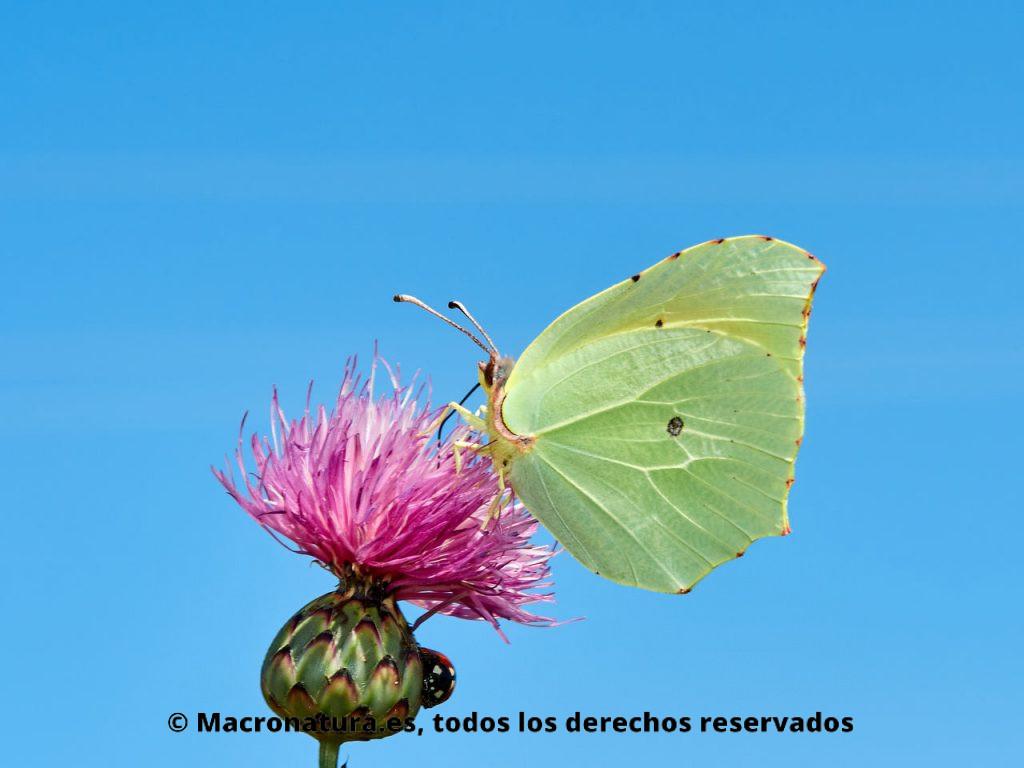 Mariposa Cleopatra Gonepteryx cleopatra macho sobre una flor con el cielo de fondo.