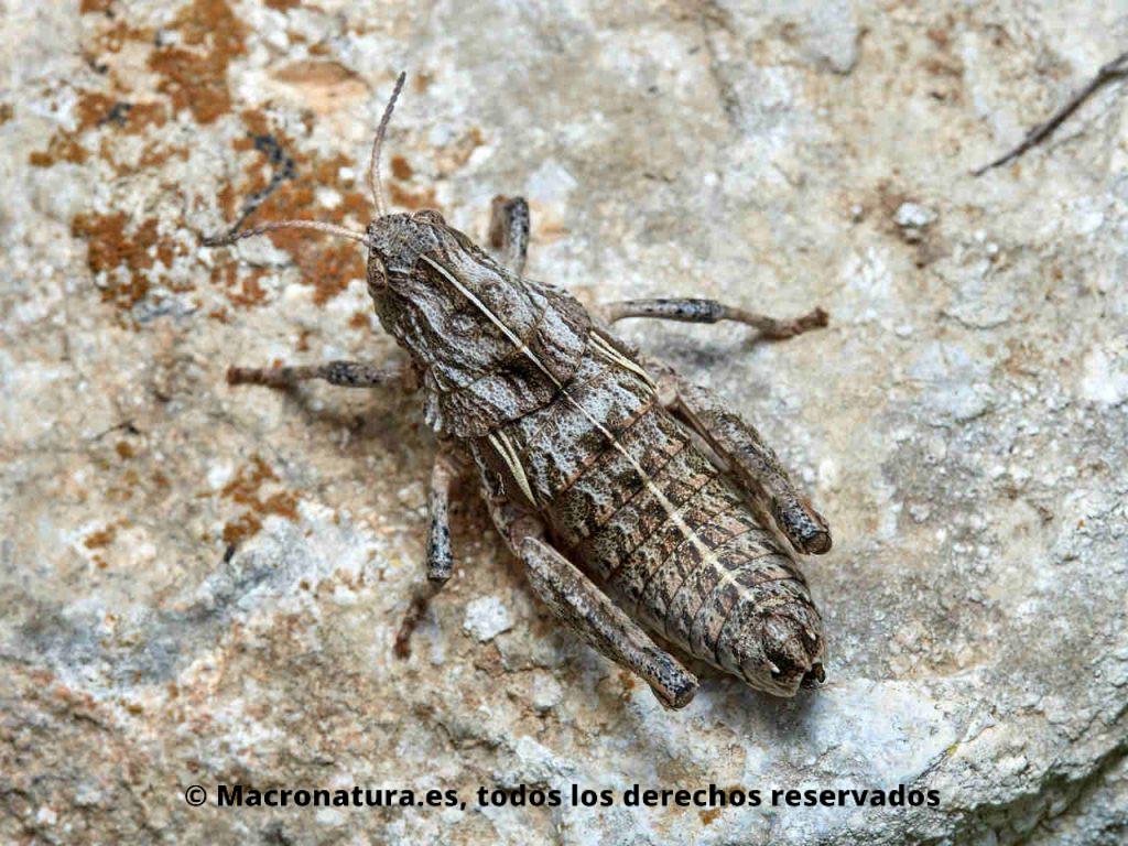 Saltamontes Euryparyphes terrulentus sobre una piedra en un terreno donde se camufla muy bien. Vista cenital.