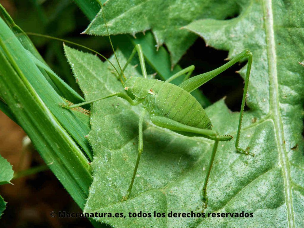 Saltamontes verde de patas largas género Odontura sobre una planta muy bien camuflado
