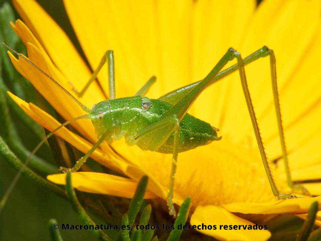 Saltamontes verde de patas largas género Odontura sobre una flor amarilla
