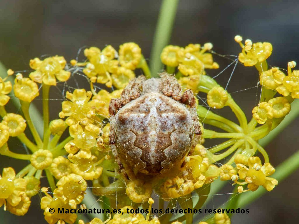 Araña Angulosa Araneus angulatus sobre una planta. Vista cenital.