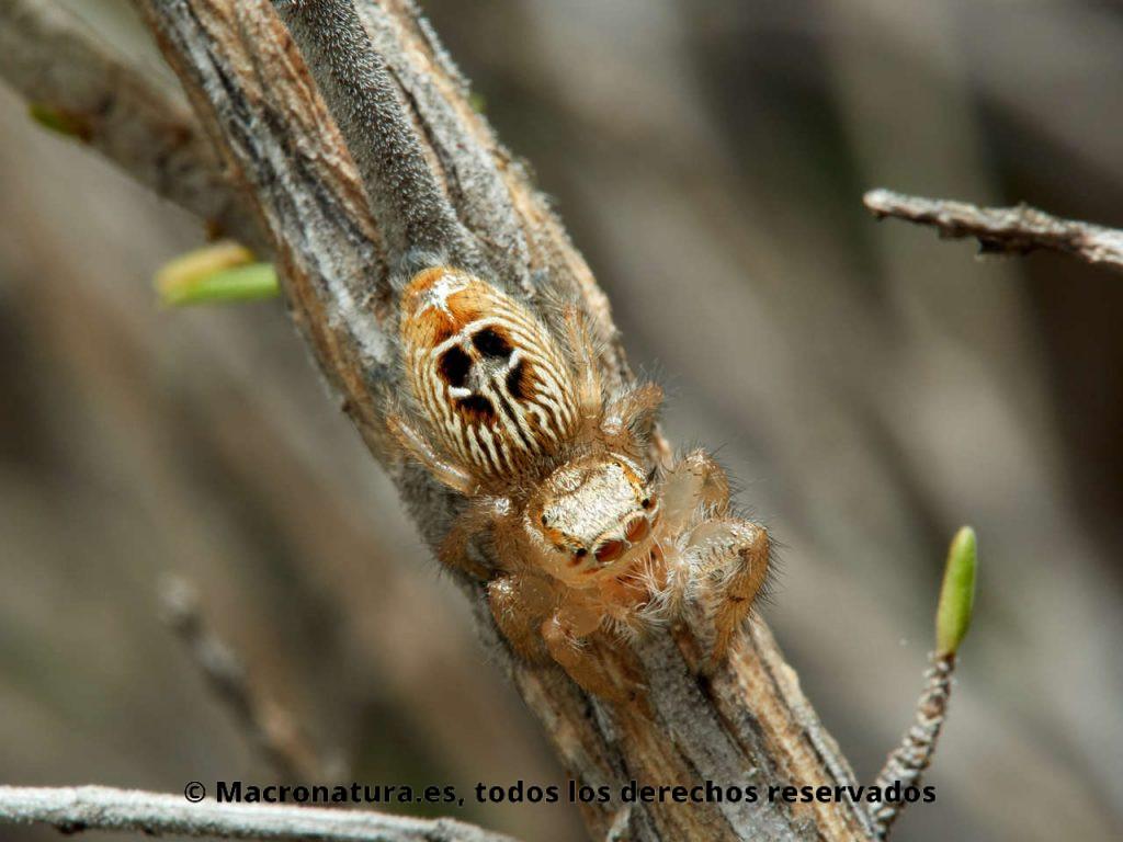 Araña saltarina Thyene imperialis. Vista cenital. Diseño del abdomen.