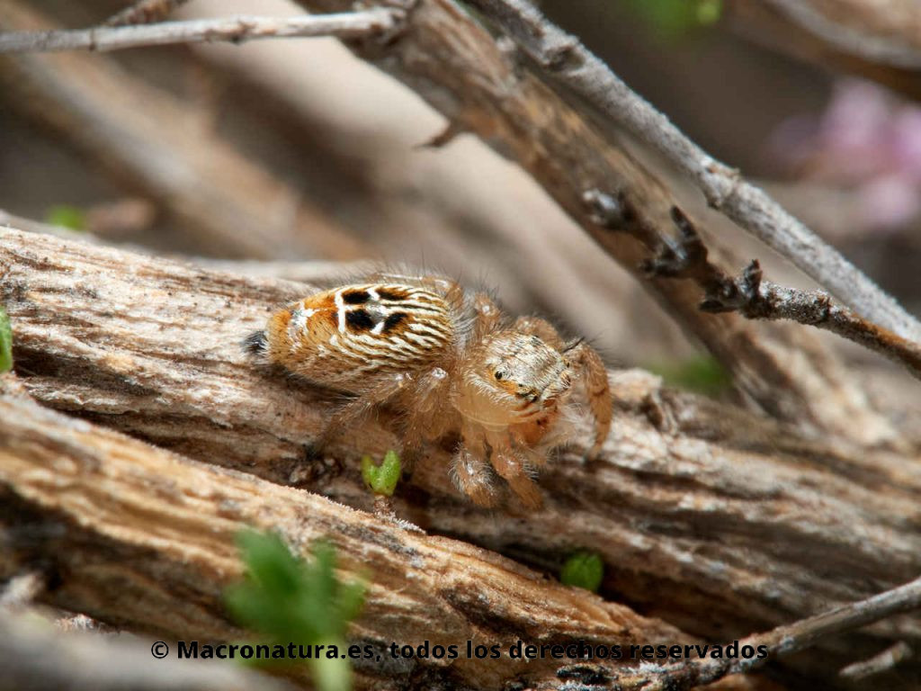 Araña saltarina Thyene imperialis. Vista lateral.