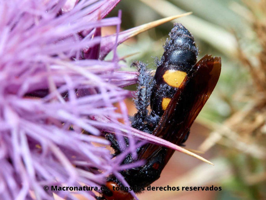 Avispa Mamut Megascolia bidens sobre un cardo. Detalle de abdomen negro y amarillo