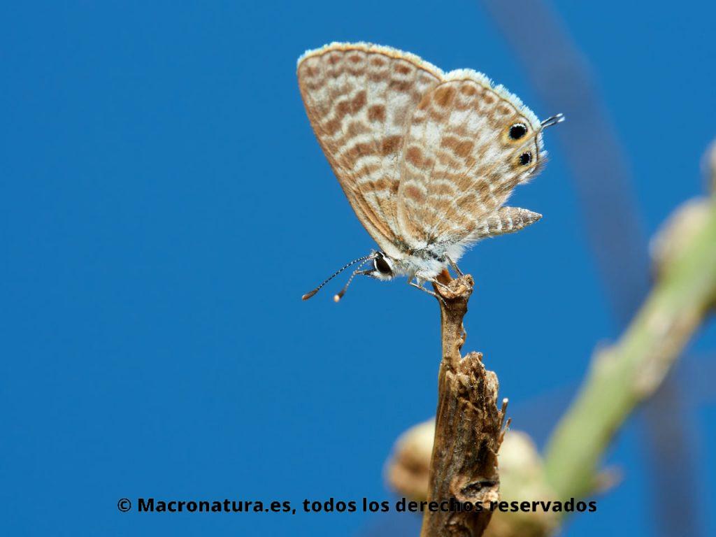 Mariposa Canela estriada Lampides boeticus en una rama de un arbusto en un fondo azul II.
