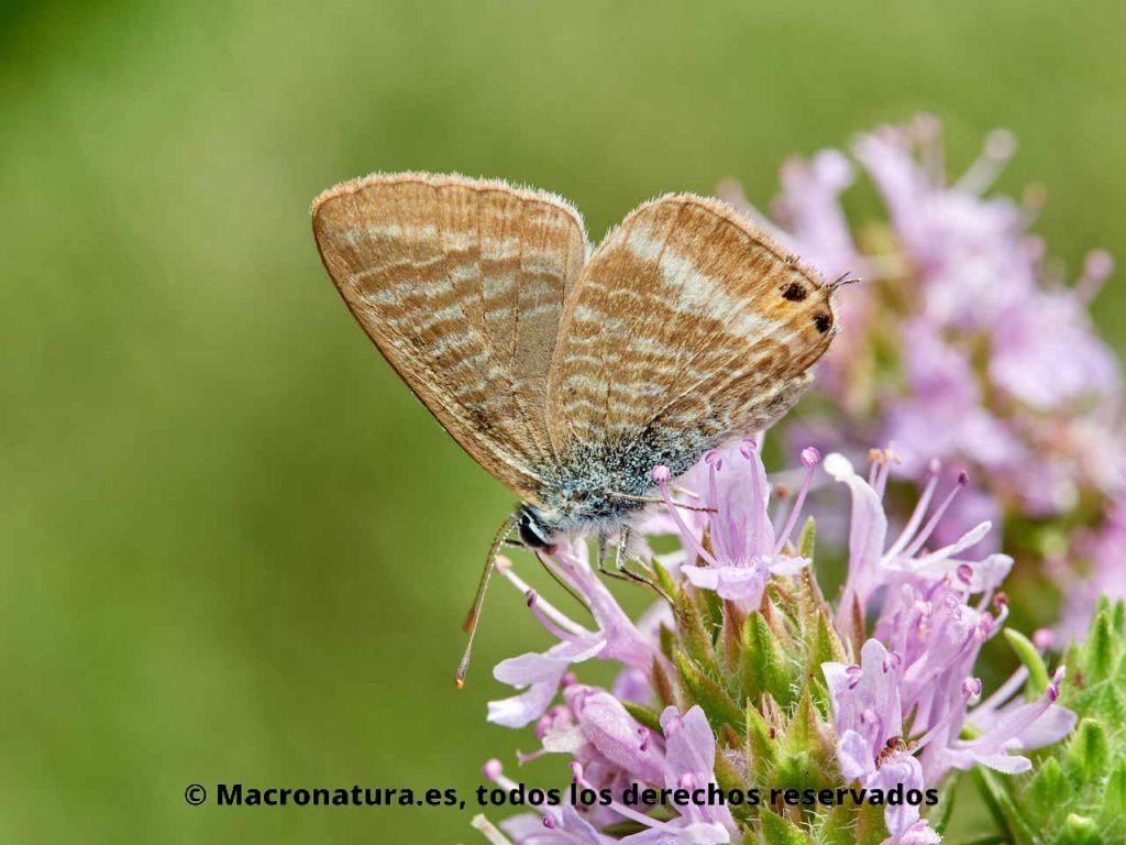 Mariposa Canela estriada Lampides boeticus sobre flores de tomillo