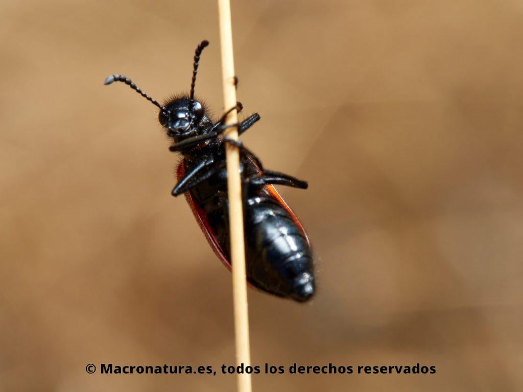 Escarabajo de Cuatro Puntos Mylabris quadripunctata. Vista ventral.