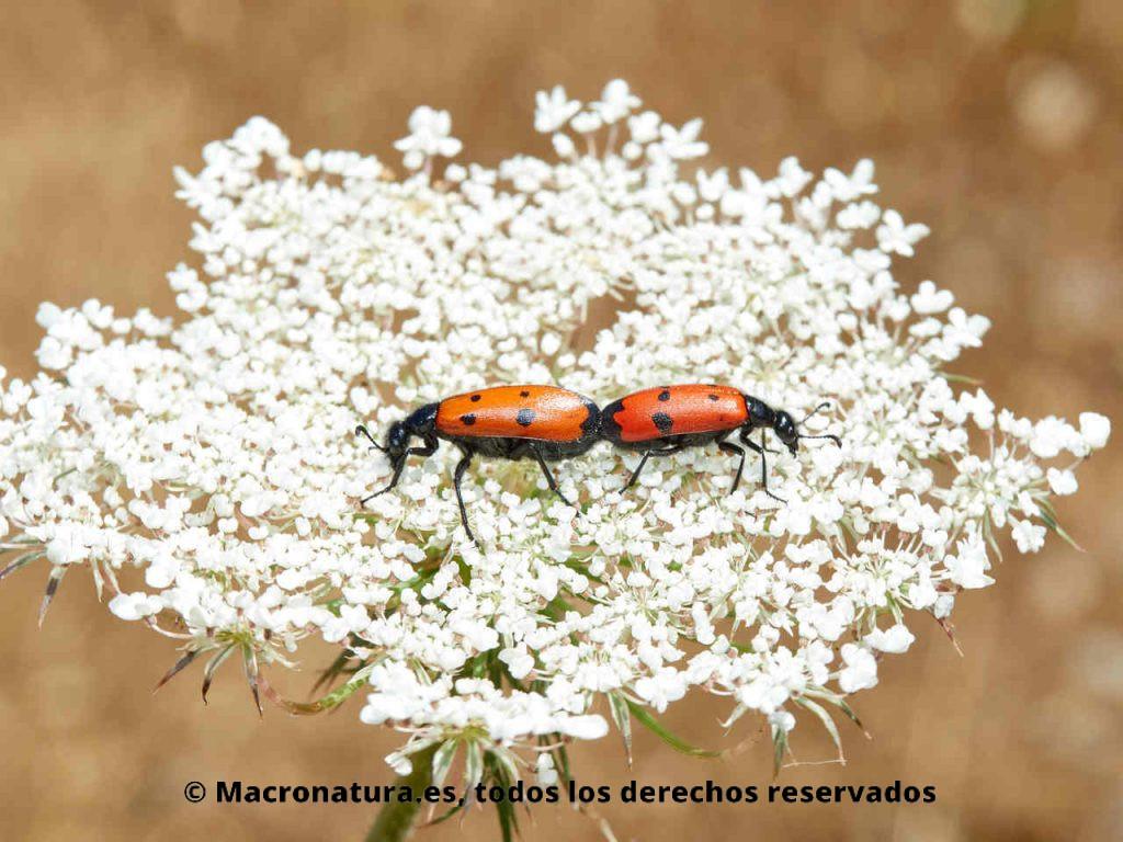Escarabajo de Cuatro Puntos Mylabris quadripunctata. Cópula sobre una flore de zanahoria salvaje.
