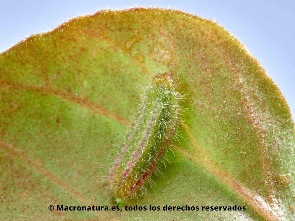 Oruga de Mariposa taladro del geranio Cacyreus marshalli sobre una hoja de geranio. Verde con líneas rojas.