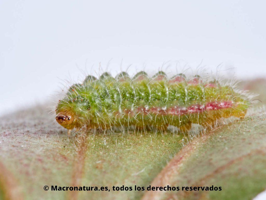 Oruga de Mariposa taladro del geranio Cacyreus marshalli sobre una hoja de geranio.