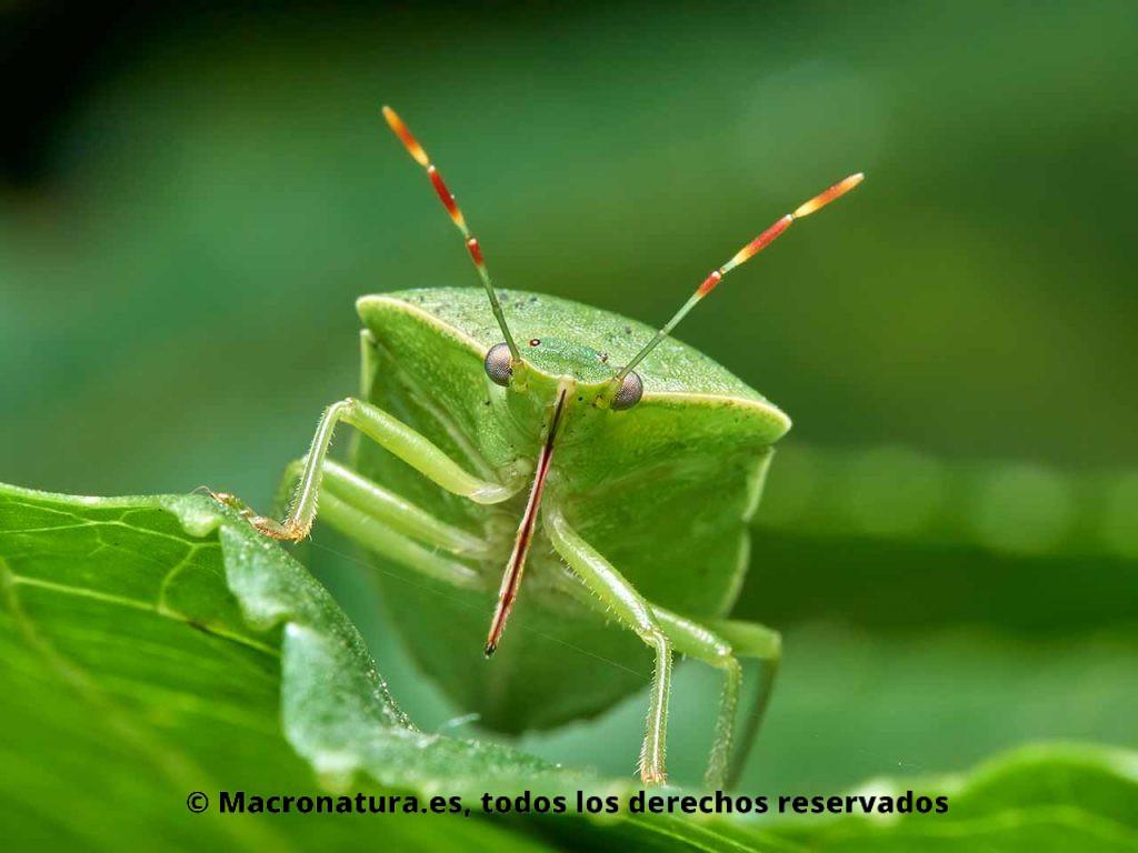 Chinche verde Nezara viridula mirando de frente. Detalle de ojos, antenas y estilete