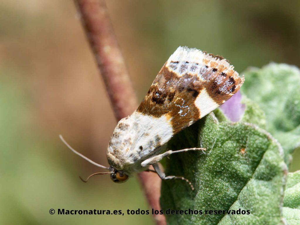 Mariposa Nocturna Acontia lucida sobre una planta. Vista lateral.