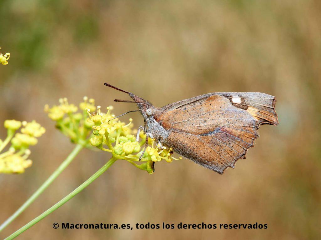 Mariposa Repicoteada Libythea celtis sobre una flor tomando néctar.
