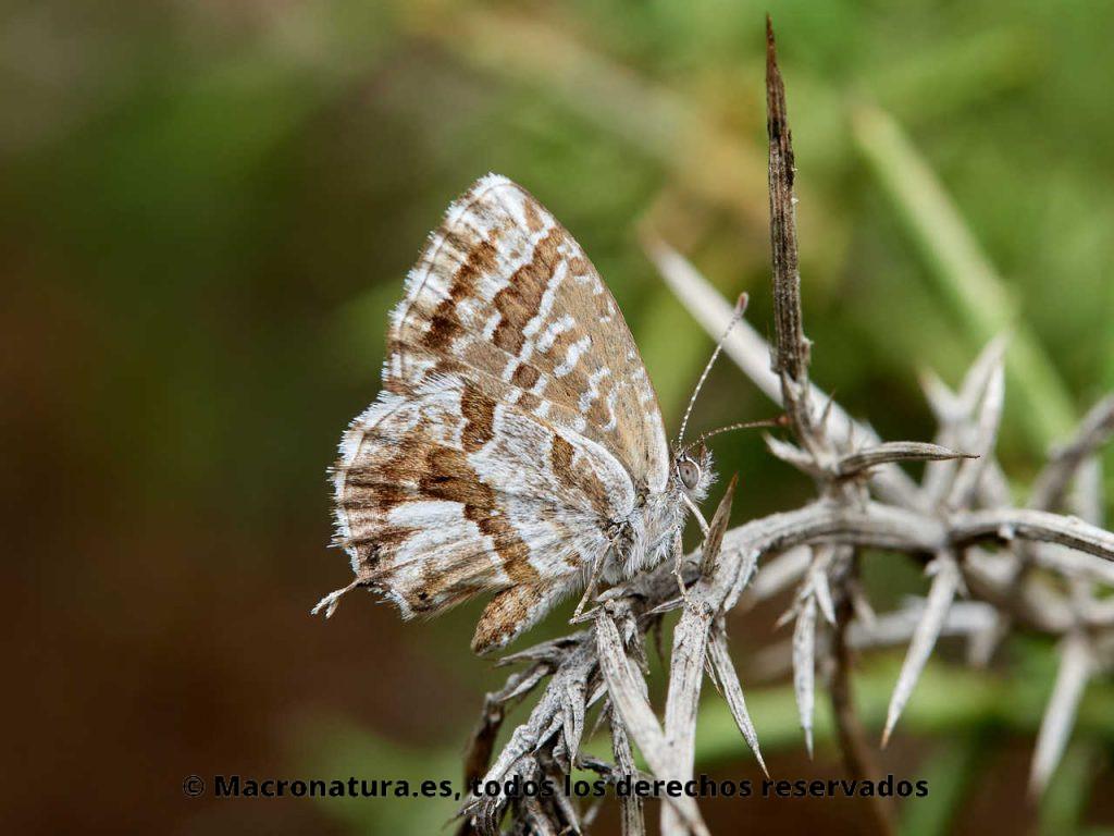 Mariposa taladro del geranio Cacyreus marshalli sobre una hoja de geranio sobre un tallo espinoso.