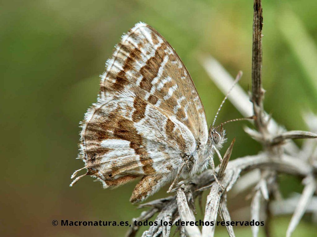 Mariposa taladro del geranio Cacyreus marshalli sobre una hoja de geranio sobre un tallo.