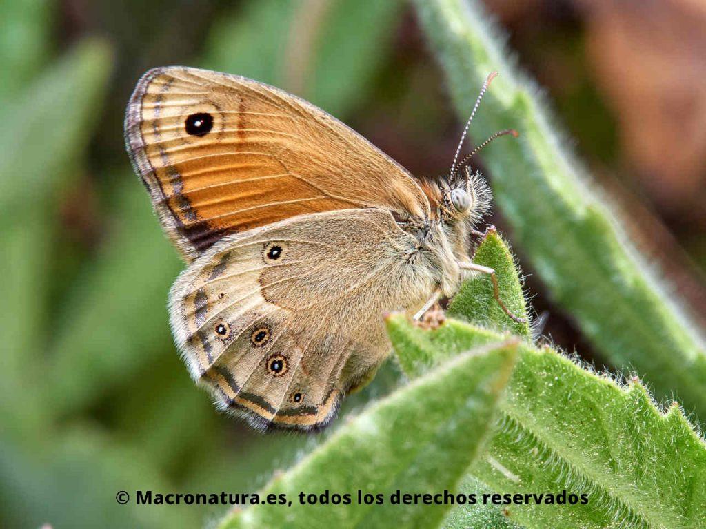 Mariposa Velada de Negro Coenonympha dorus sobre una planta.