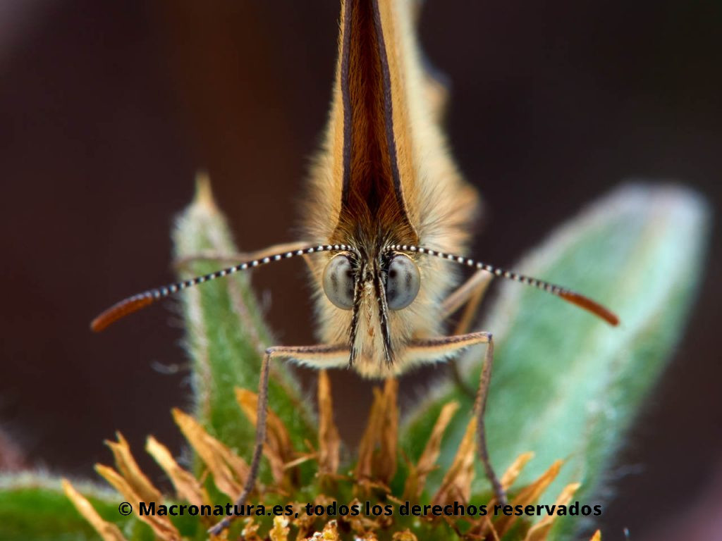 Mariposa Velada de Negro Coenonympha dorus mirando de frente