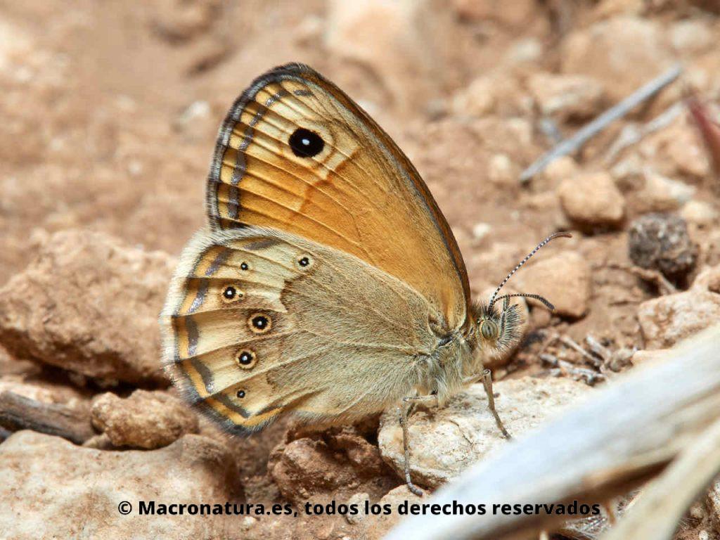 Mariposa Velada de Negro Coenonympha dorus en un terreno seco y rocoso